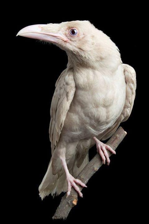 ................White Crow..................