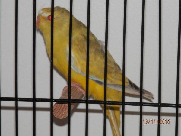 Oiseaux pour concours Région 19 et 20 Novembre 2016
