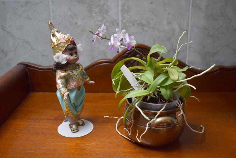 orchidée mini phaleanopsis patris