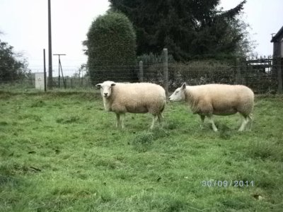 voici mon troupeau Texel