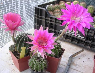 blog de ours-cactus - page 3 - passion cactus - skyrock