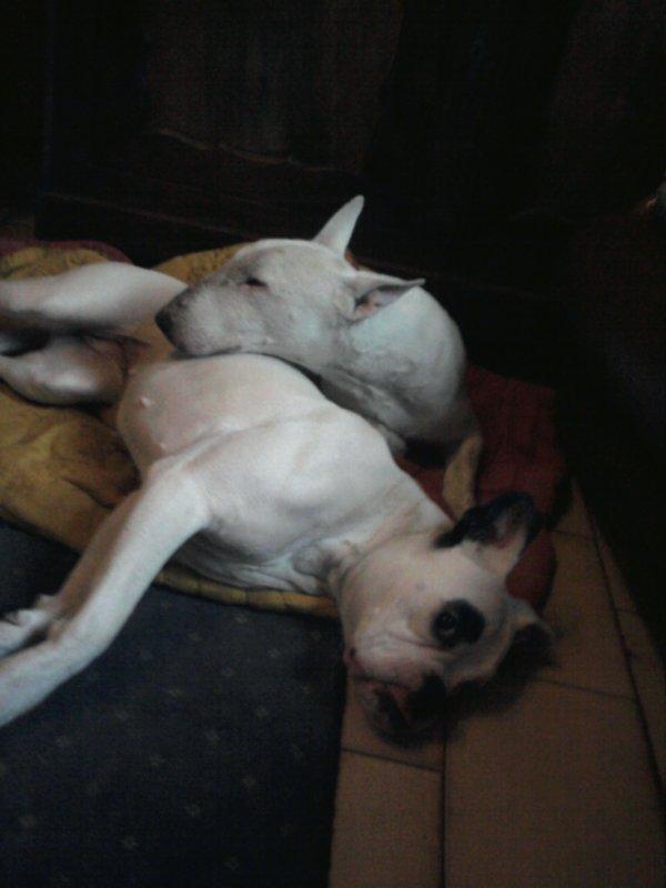 elles s'entendent super bien sauf que ma chienne a faillit se faire bouffer par saba le premier jour ou elles se sont rencontré