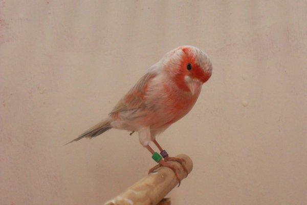 un mâle agate opale mosaique rouge