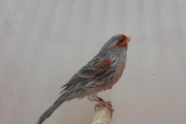 un mâle agate  mosaique rouge