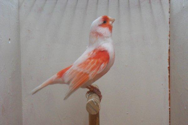 un mâle lipochrome mosaique rouge