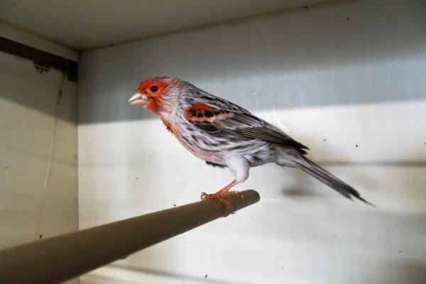 mâle agate mosaïque rouge