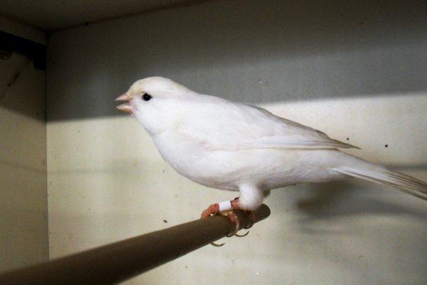 un mâle blanc récessif