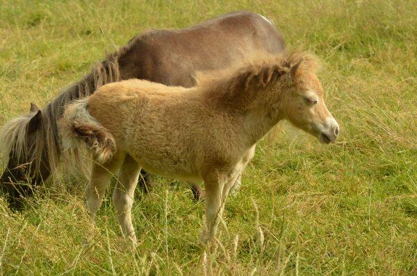 FANCY  MINIS    JUBY   JUVENALIA,     2019,  amha  champagne  filly
