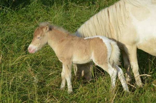 FANCY  MINIS   JACKFLASH,   pinto amber silver champagne  amha  colt