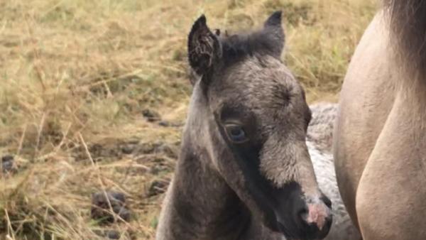 FANCY  MINIS  JOY  FOR  ROO & TEA    , amha   buckskin  pinto  filly, born 5 july 2019