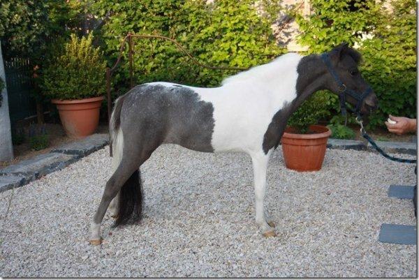 MH TUFFS MYSTICA ,  amha  pinto smoky black  mare , 2009