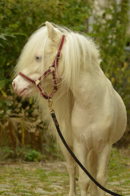 MI  GOLDEN  JUBILEE, cream champagne  stallion,