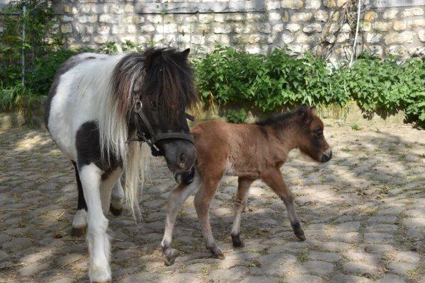 FANCY  MINIS  KIARA,  amha  filly  born 27 march  2020