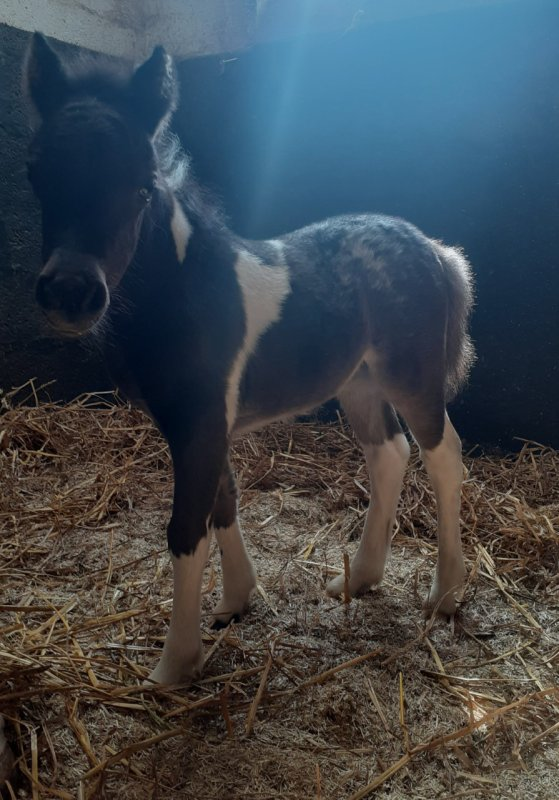 FANCY  MINIS   LOOK  AT  ME   amha  filly 2021