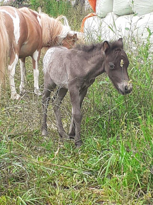 FANCY  MINIS  LITTLE  LORD,  amha male   born 15 july 2021