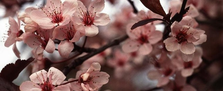 Je veux faire de toi ce que fait le printemps avec les cerisiers.