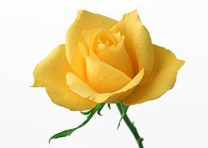 les fleur : rose jaune - mon blog ma vie mé ami ^^