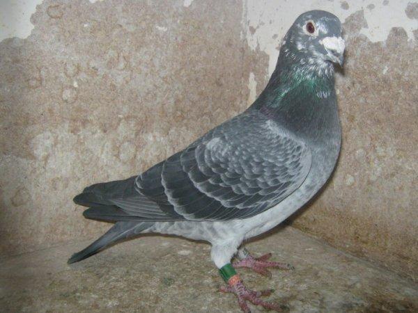 j ai offert les parents de ce pigeon a  sylvain (patte meiller)en 2012