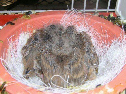 Il doit être commeça  à 14 jours pour mettre nids à terre