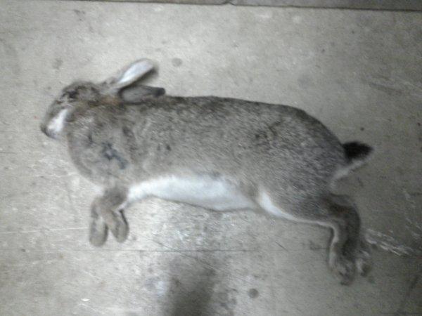 lapin (tué par mon père et a un furetage)
