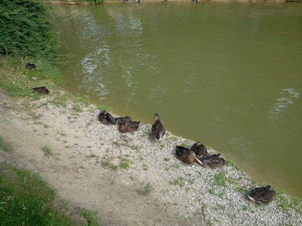 canard de l'étang d'annoeullin