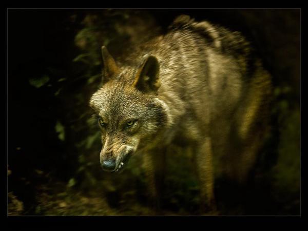 Mes loups adorés ....partage!