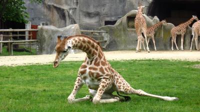 GIRAFE EN PLEINE EFFORT (Zoo de Vincennes)