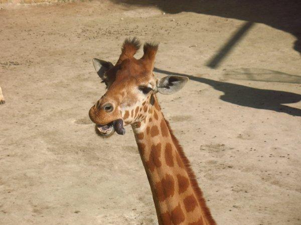 Malicieuse Girafe (Zoo de Doué-la-Fontaine - Maine-et-Loire)