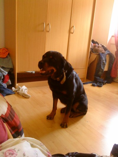 PAFF_PAFF_PAFF_LE_LOUPMES CHIENS/ NINA (ROTTWEILER)