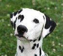 Photo de dalmatien91350