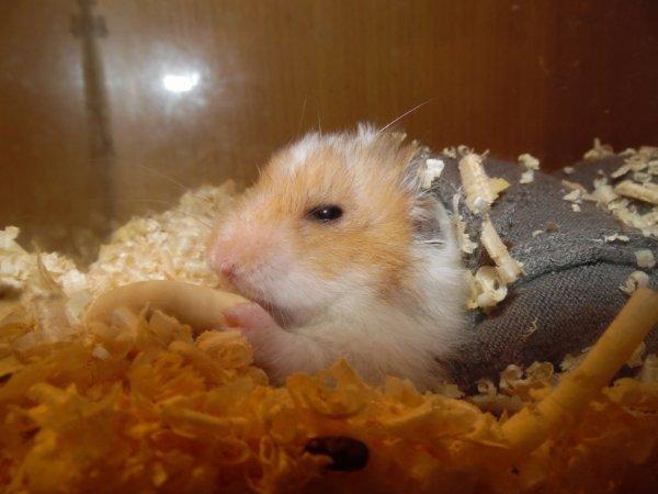 photo de  mon hamster