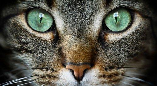 De tous les animaux, seul le chat atteint une vie contemplative.