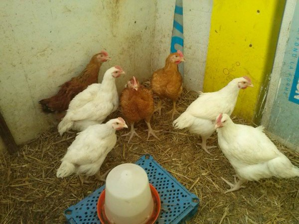 coqs & poulets de chair