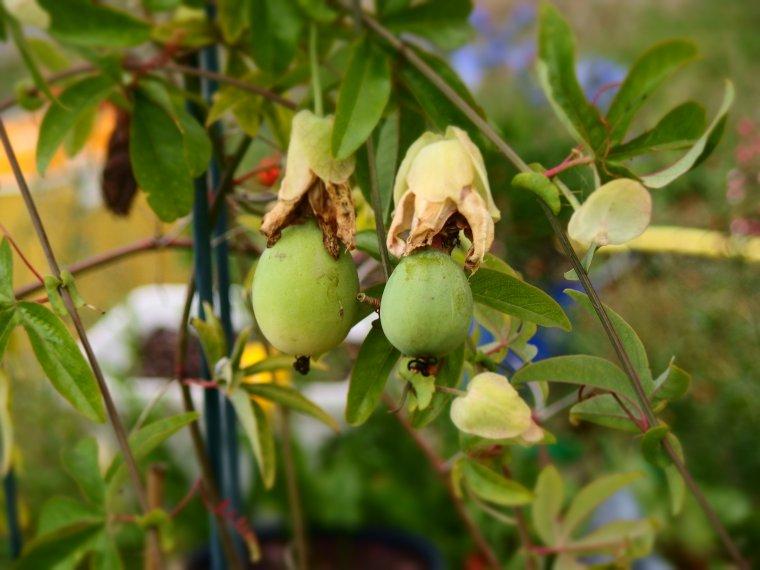 FRUITS DE PASSIFLORE ET UN DE NOS HIBISCUS EN FLEURS