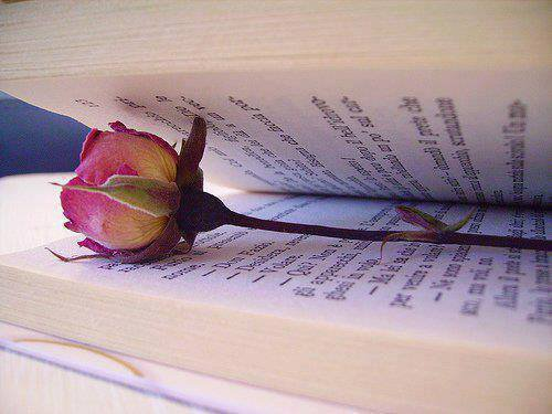 bon dimanche a tous je vous offre cette rose
