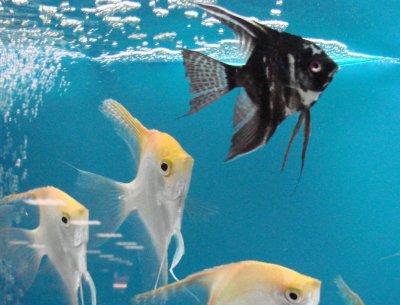 le poisson scalaire le roi de l 39 aquarium blog de poissonsdesayat. Black Bedroom Furniture Sets. Home Design Ideas