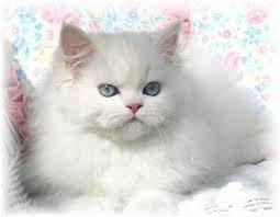 Chat blanc aux yeux bleues
