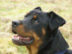 Rottweiler (pour tous les amoureux de cette race ou des molosses)