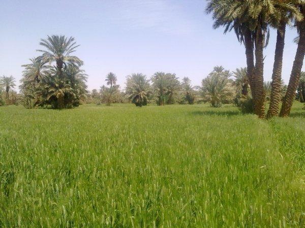 Des palmiers et des champs de blé