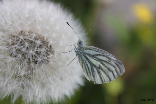Gazé (Aporia erataegi)