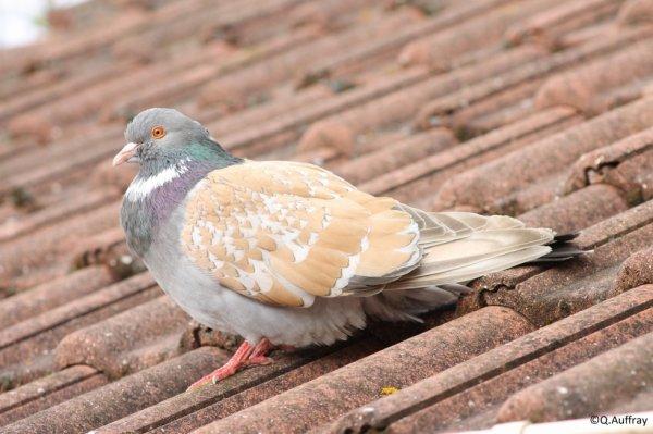 Pigeon d'élevage