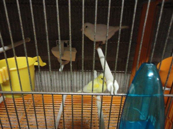 Mon couple de jaune shimmel et blanc dominant !!!