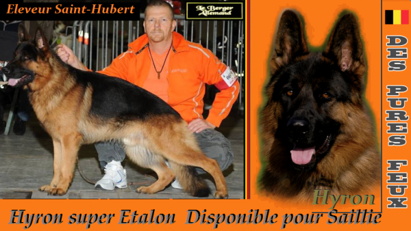 Hyron  super Etalon Disponible pour Saillie  www.chenildespuresfeux.com
