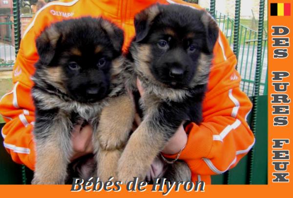 Hyron Disponible pour Saillie www.chenildespuresfeux.com