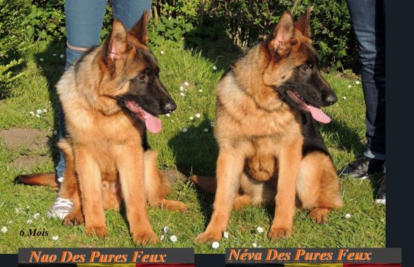 www.chenil-des-pures-feux.com