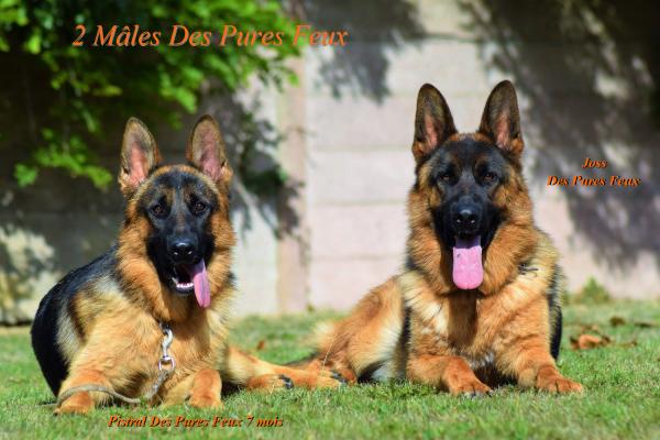 0498.37.36.86 .www.chenil-des-pures-feux.com