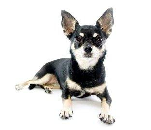 Chien de la semaine : le Chihuahua