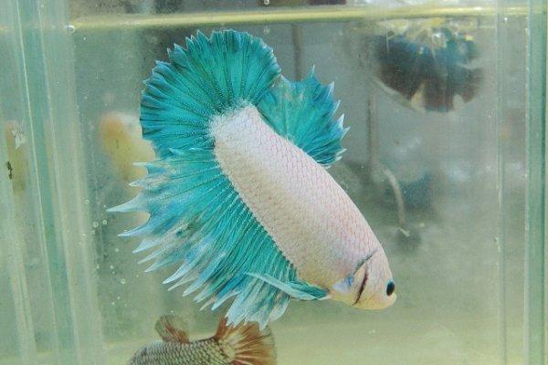 poisson betta couleur pastel bleu poissons combattas. Black Bedroom Furniture Sets. Home Design Ideas