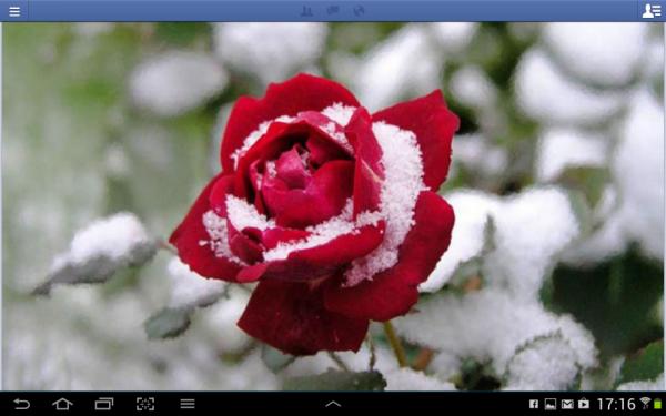 rose fraicheur