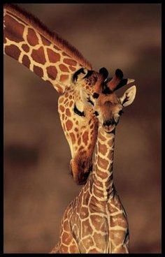Drôles de Girafes !! :p